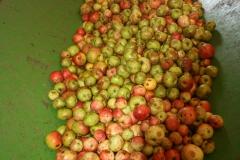Apfelernte-2020-9